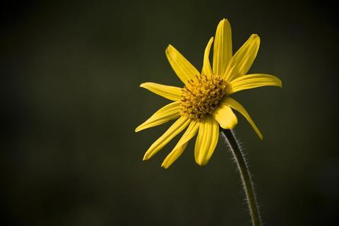 Flor de arnica